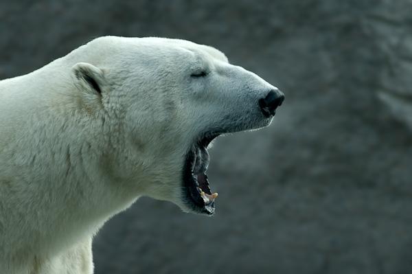 Brüllender Eisbär