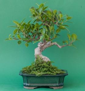 Bonsai mit monochromen Hintergrund