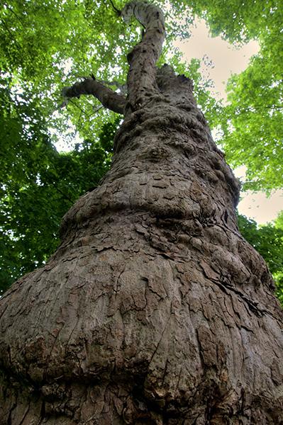 Stamm eines alten Ahornbaumes