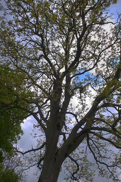 Baum mit Tone-Mapping