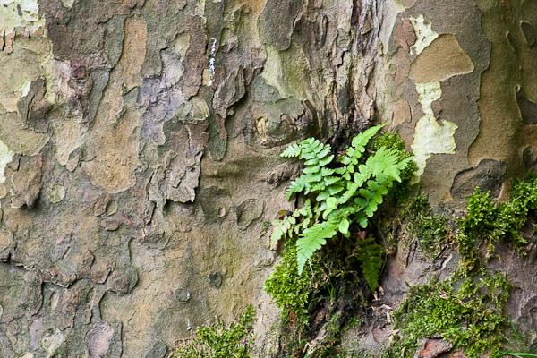 Kleines Farn am Ahornbaum