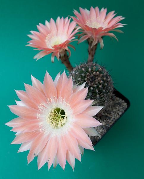 "Echinopsis-Hybride ""Andenken an Fric"" 366"