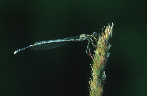 Gemeine Federlibelle (Platycnemis pennipes)