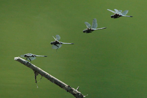 Flugphasen einer Libelle Großer Blaupfeil (Orthetrum cancellatum)