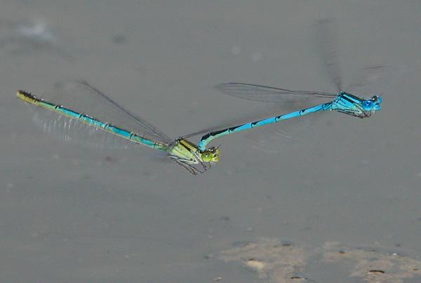 Libellen Pokalazurjungfern (Cercion lindenii) im Flug