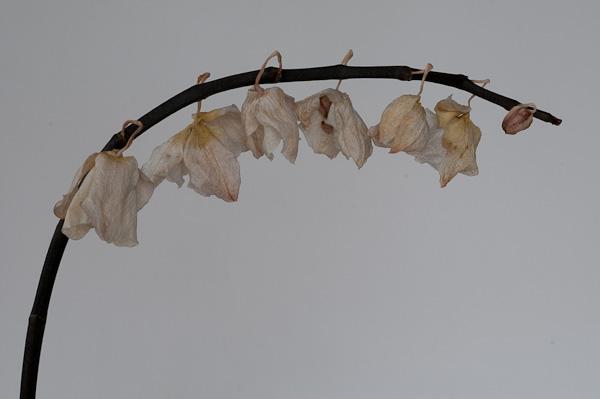 Verblühte Orchidee unbearabeitet