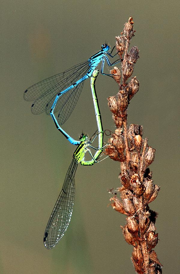 Paarungsrad Hufeisen-Azurjungfer (Coenagrion puella)