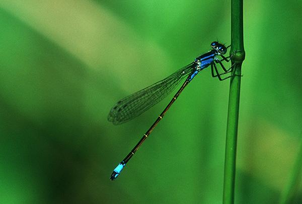 Männliche Große Pechlibelle (Ischnura elegans)