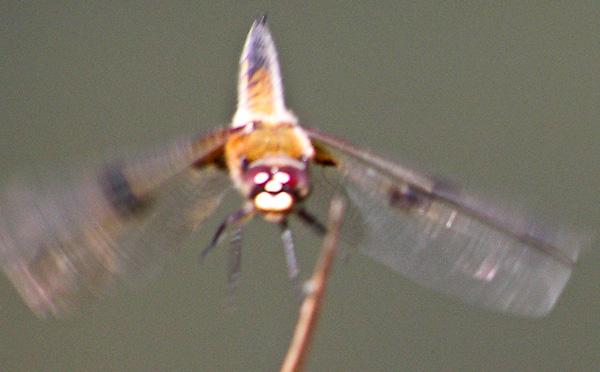 Vierfleck (Libellula quadrimaculata) im Flug