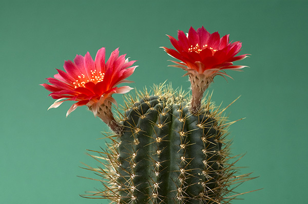 Rot blühender Kaktus