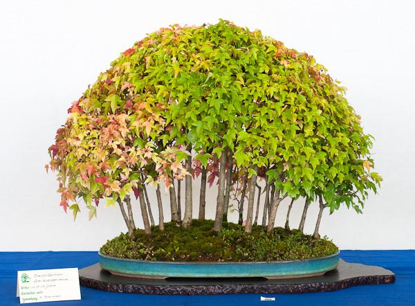 Dreispitzahorn-Wald (Acer buergerianum)