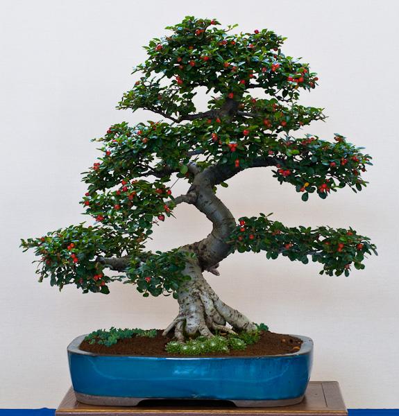 Zwergmispel (Cotoneaster)