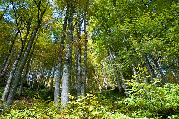 Buchenwald am Südhang des Blößling 1309 m