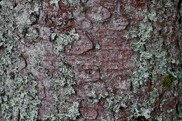 Rinde und Flechten an einem Nadelbaum