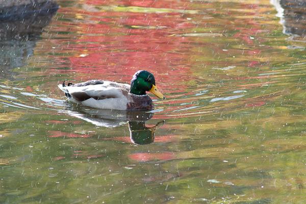 Schwimmende Ente im Regen