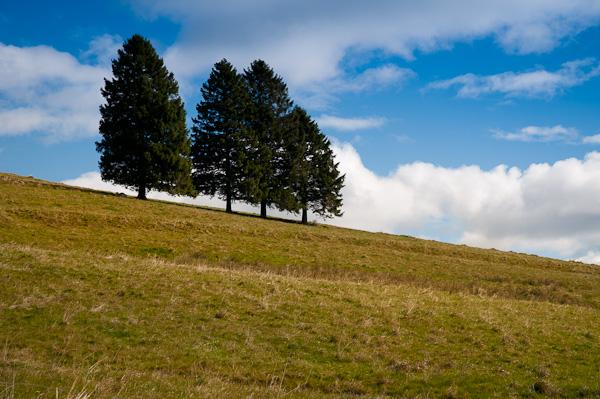 Vier Tannenbäume