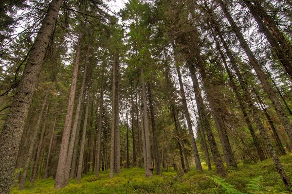 Hohe Nadelbäume in Zauberwald