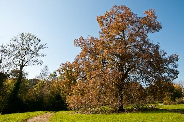 Alte Winter-Linde (Tilia cordata)