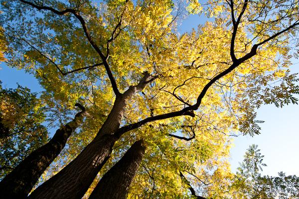 Amerikanischer Geweihbaum (Gymnociadus dioicus)