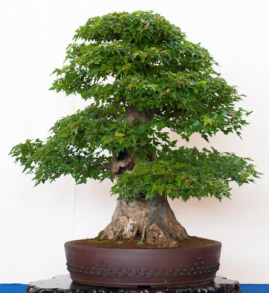 Ahorn-Bonsai