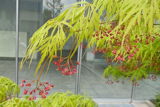 Blüten grüner Fächerahorn