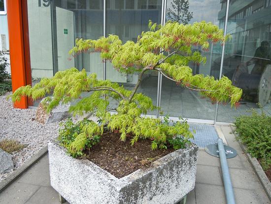 Grüner Fächerahorn (Acer palmatum)