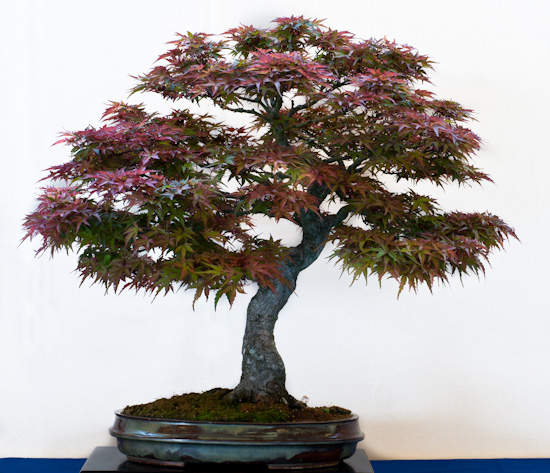 Acer palmaturm als Bonsai