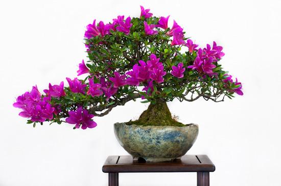 Rhododendron lativitium Bonsai