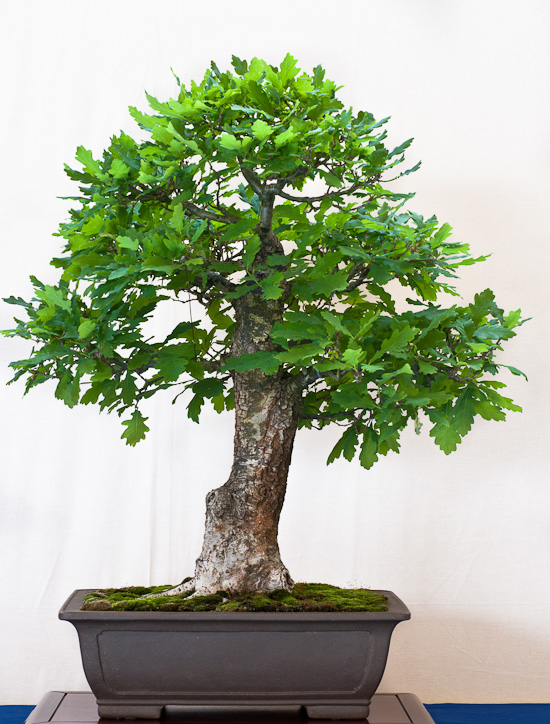 Eiche (Quercus robur) als Bonsai