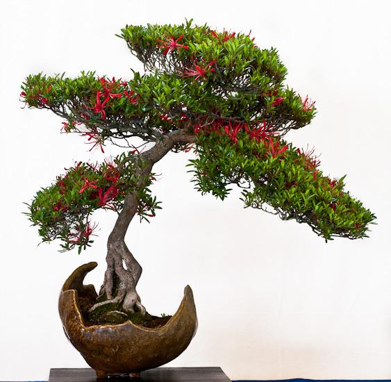 Satsuki-Azalee als Bonsai