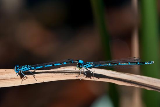 Azurjungfern-Libellen