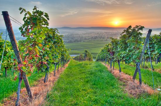 Sonne und Sommer im Weinberg