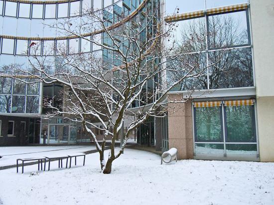 Fächerahorn im Winter