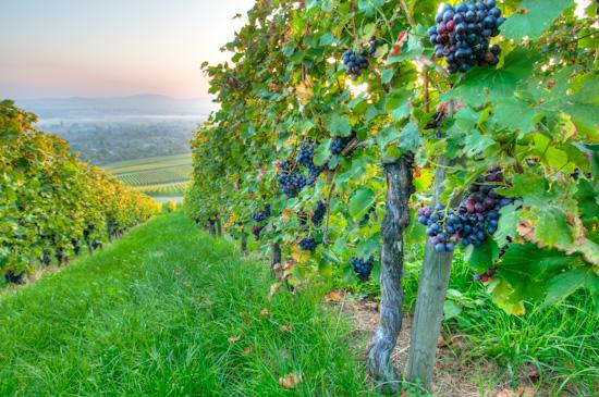 Trauben für Rotwein