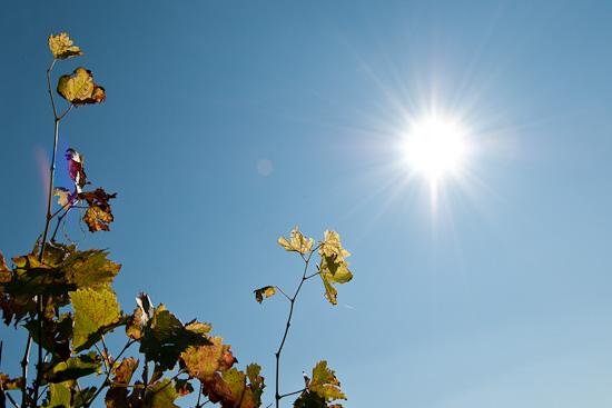 Weinblätter und Sonne