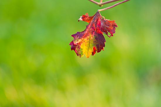 Weinblatt im Herbst