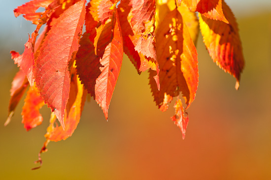 Herbstlaub eines Kirschbaumes