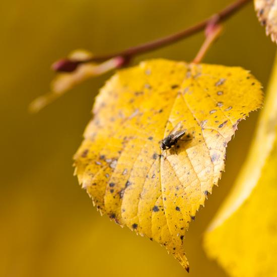 Lindenblatt im Herbst