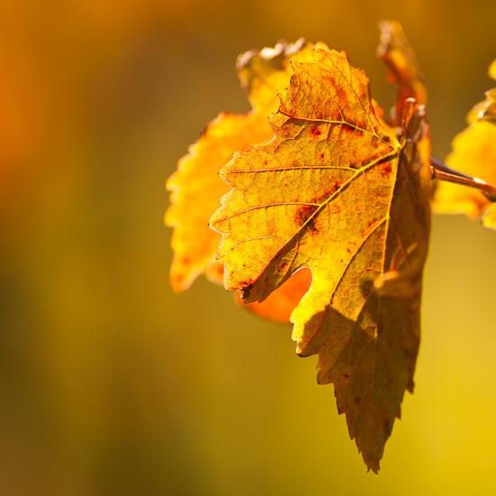 Weinblatt im Herbstlicht
