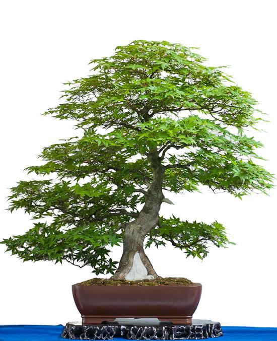 73 Jahre alter grüner Fächerahorn als Bonsai