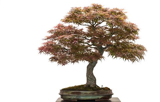 Alter Ahornbaum (Acer palmatum atropurpureum) als Bonsai
