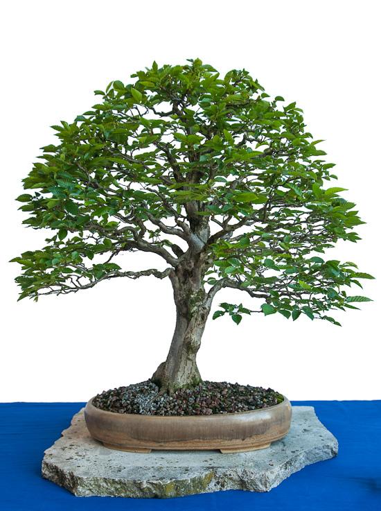 Alte Hainbuche als Bonsai Baum