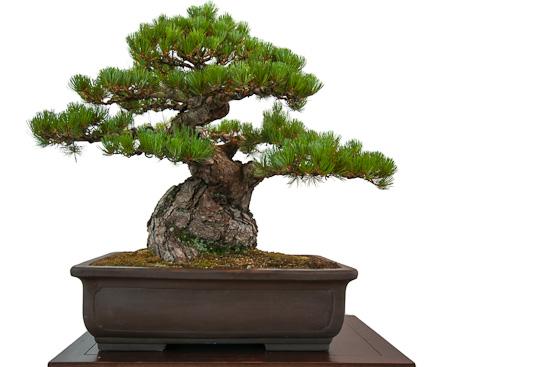 Alte Mädchenkiefer (Pinus parviflora) als Bonsai-Baum