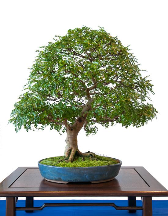 Pfefferbaum (Zanthoxylum piperitum) als Bonsai