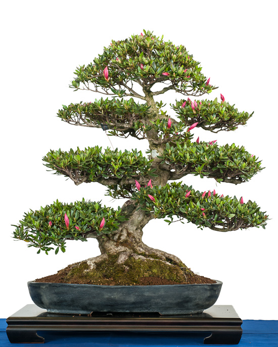 rhododendron indicum als bonsai baum. Black Bedroom Furniture Sets. Home Design Ideas