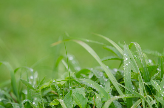 Grashalme mit Regentropfen