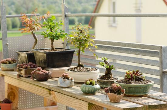 Bonsai auf dem Balkon