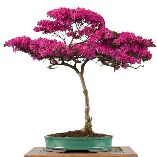 Alpenrose (Rhododendron hirsutum) als Bonsai