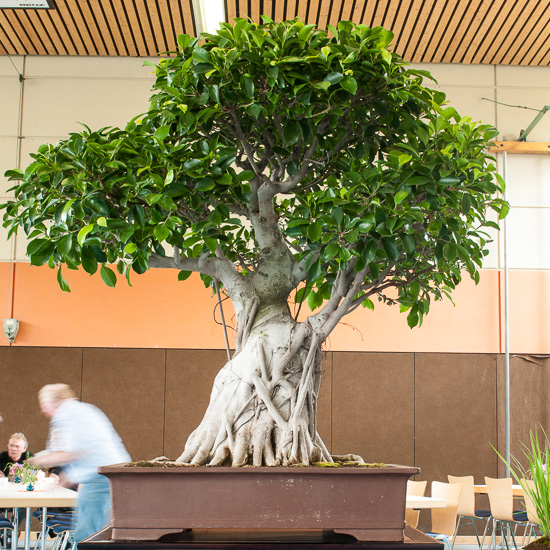 Grosser Ficus microcarpa Bonsai
