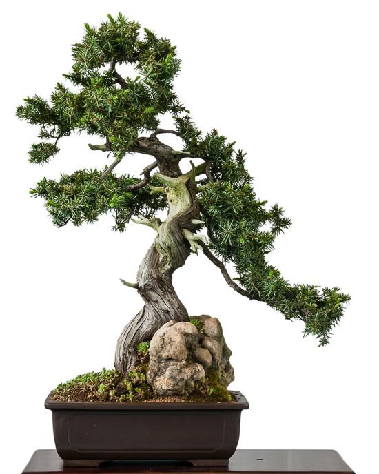 Japanischer Igelwacholder (Juniperus rigida)